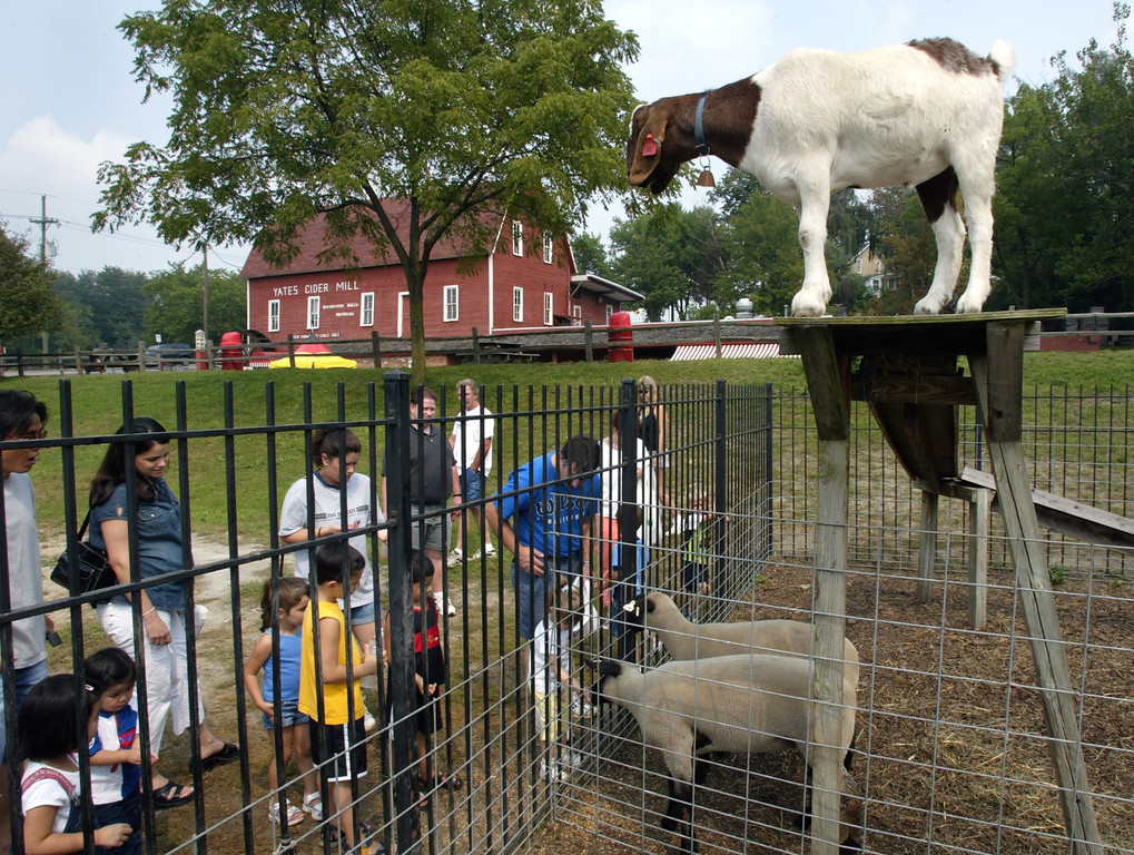 Description of . A group gathers to view and feed goats and sheep at Yates Cider Mill on Sunday.  Photographed Sunday, September 4, 2004.