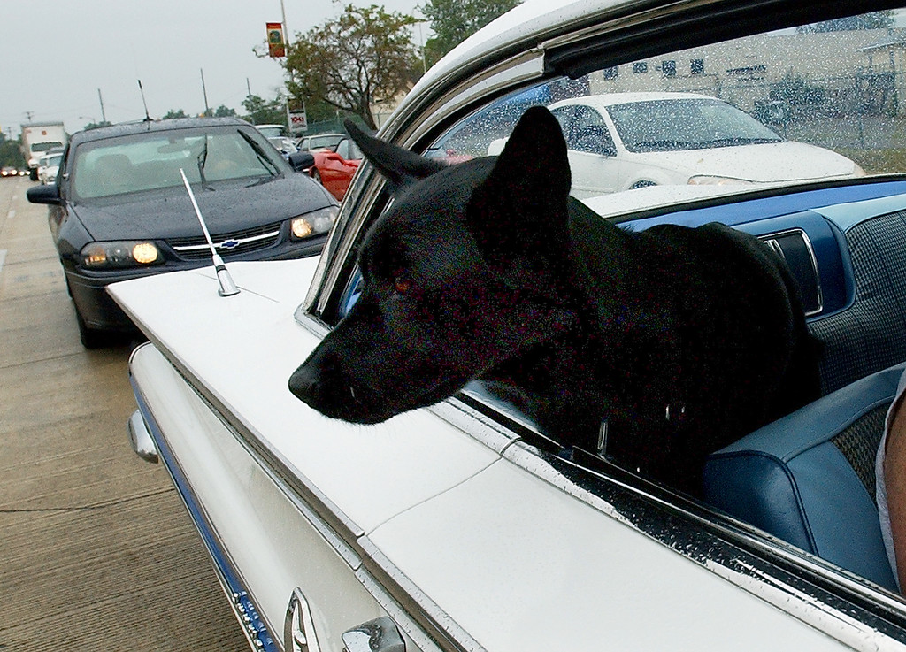. A dog named Samantha checks out the crowd as she rides in a 1967 Chevy Impala, as the car makes the loop on Woodward, during the Dream Cruise.  Photo taken on Saturday, August 21, 2010, in Pontiac, Mich.  (The Oakland Press/Jose Juarez)